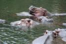 Hipopotamy w �r�dle Mzima