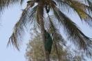 Na bosaka po kokosy